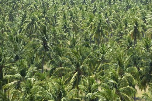 kookosfarm riococonutwatercom