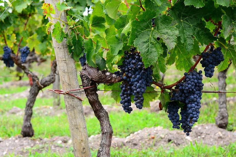 Ja Bordeaux viinamarjad